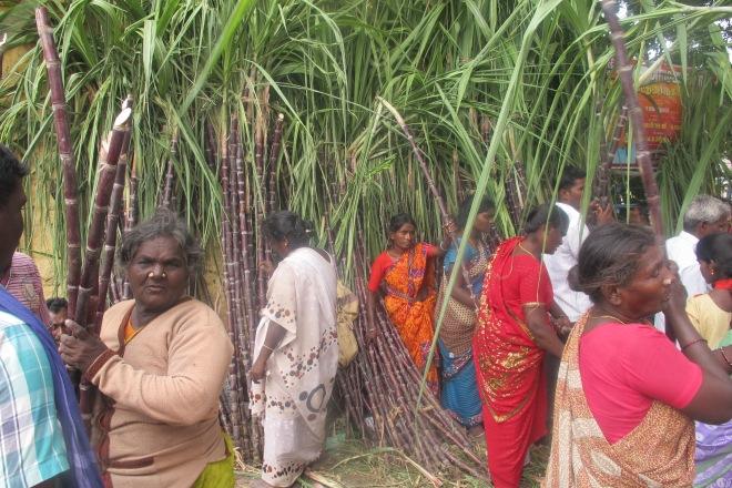 sugar cane, tiruvanamali